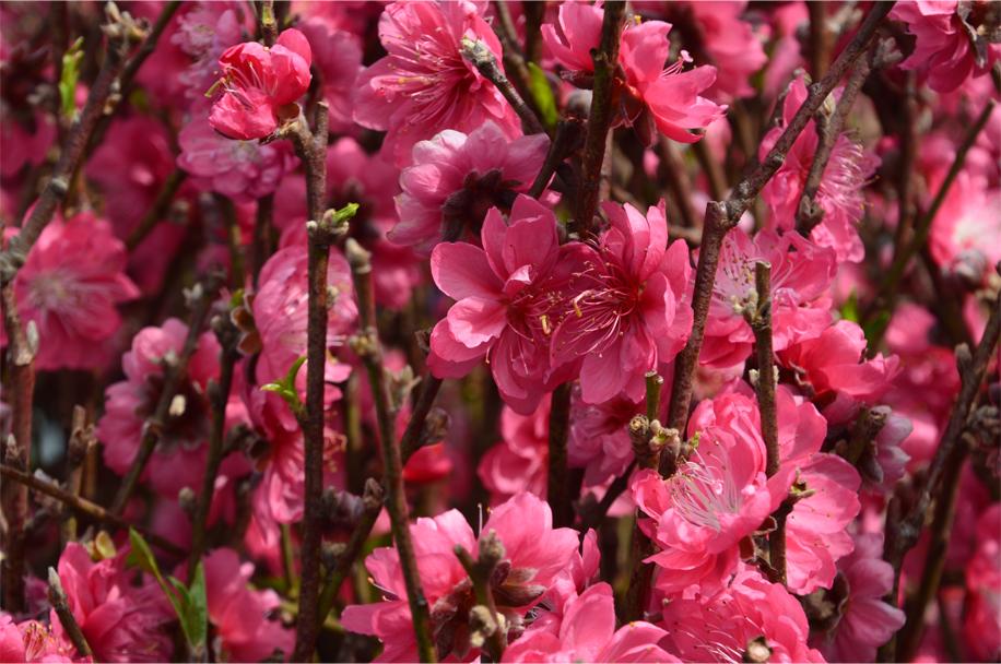CNY flower market_18
