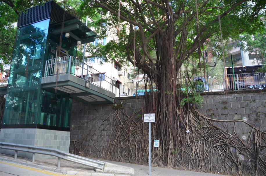 """""""Wall tree"""", Sai Ying Pun"""