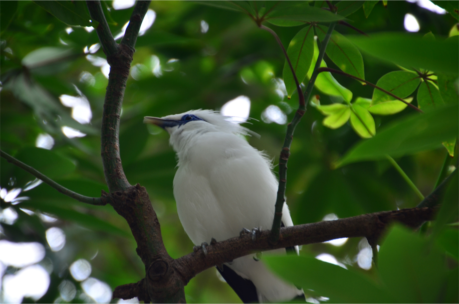 The beautiful Bali Starling, or 'Jalak Bali'