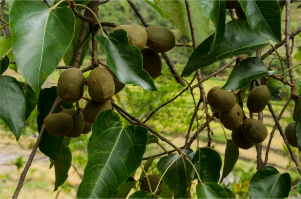Macadamia on the branch