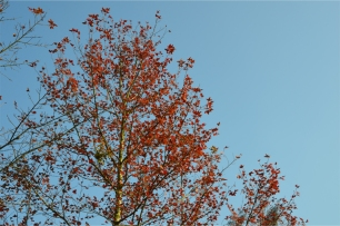 Sweet gum trees along the road
