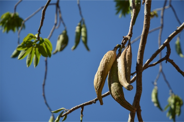 Silk cotton pods on the branch